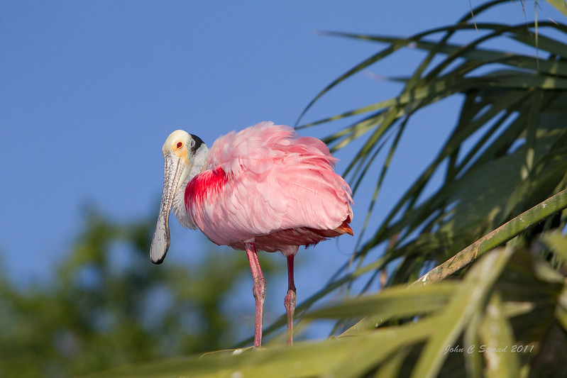 Spoonbill stops for a pose