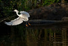 Snowy Egret aborts dive into alligator infested waters