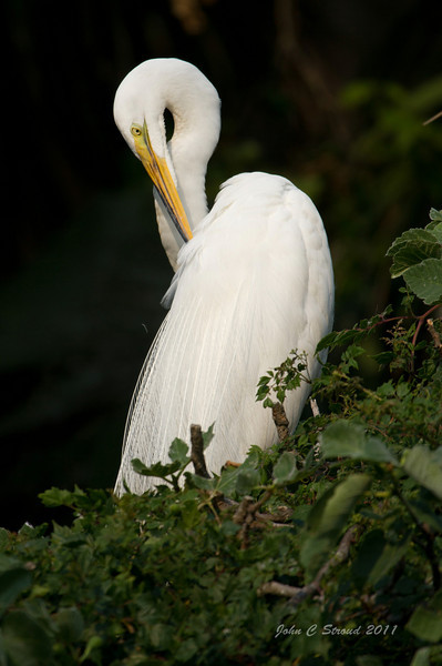 Great Egret in graceful pose