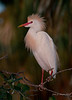 Cattle Egret enjoys late-day sun