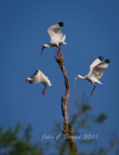 Trio of White Ibis