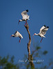 Trio of White Ibis