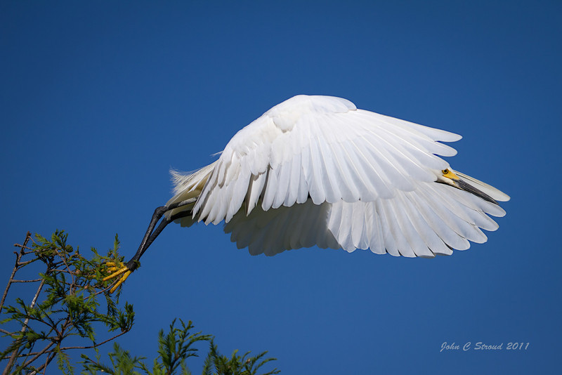 Snowy Egret takes flight
