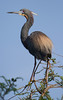 Tricolored Heron looking for mate