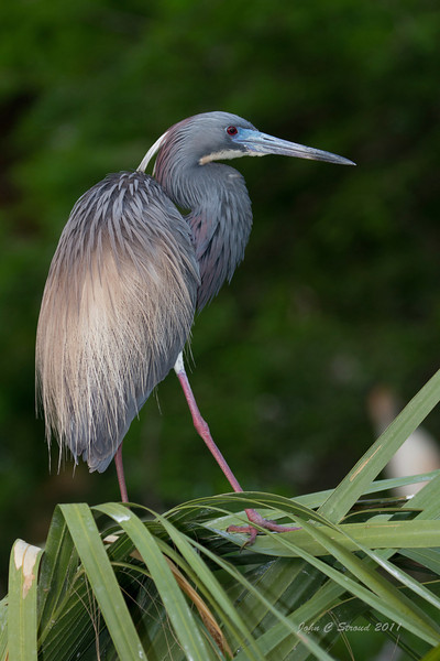 Tricolored Heron in pose