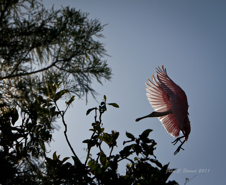 Backlit Roseate Spoonbill approaches roosting area