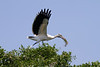 Wood Stork takes to the air after gathering nesting material