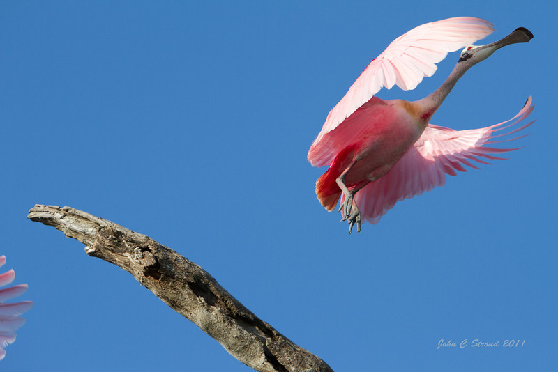 Roseate Spoonbill blasts into air from branch