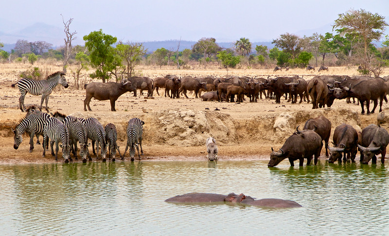 Hippos, warthog, zebras, buffaloes and wildebeest in the background.  A regular site at the Hippo Pool