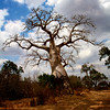 Baobab tree in bloom and with fruits