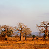 Baobab trees at sunset