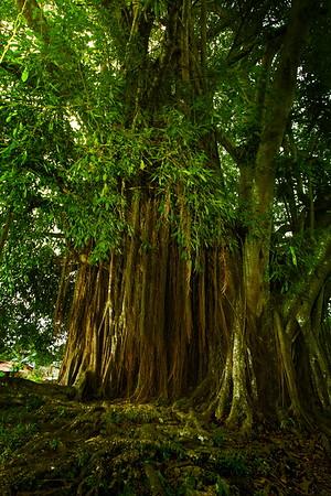 samal_balete-tree