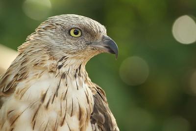 samal_eagle