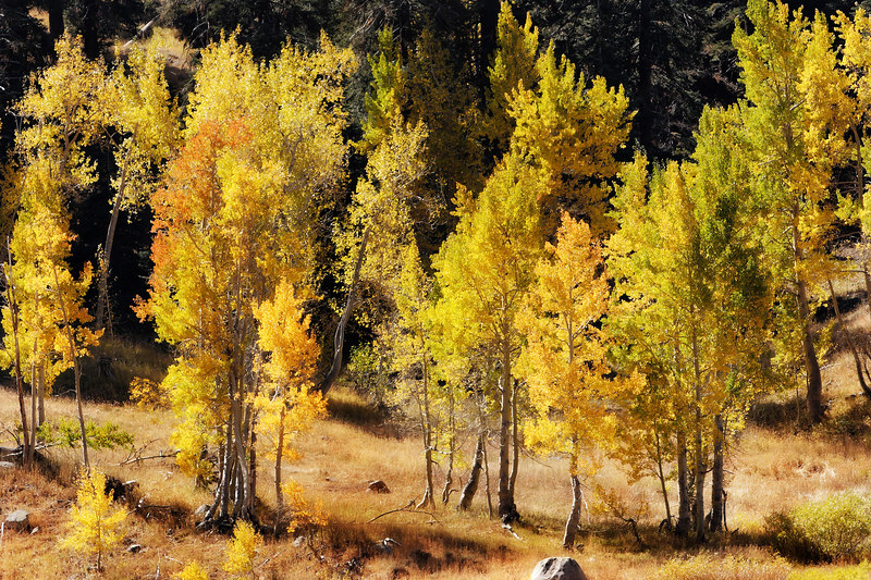 This brightly-colored medley of aspen trees illustrates the influence and beauty of seasonal changes.  Aspen groves are actually a single living organism sharing the same genetic material.  They are effectively clones.  Aspen roots sprout in all directions and new trees grow from those roots.  Aspen are very common in the Western United States, particularly in the Sierra and Rocky mountain ranges.