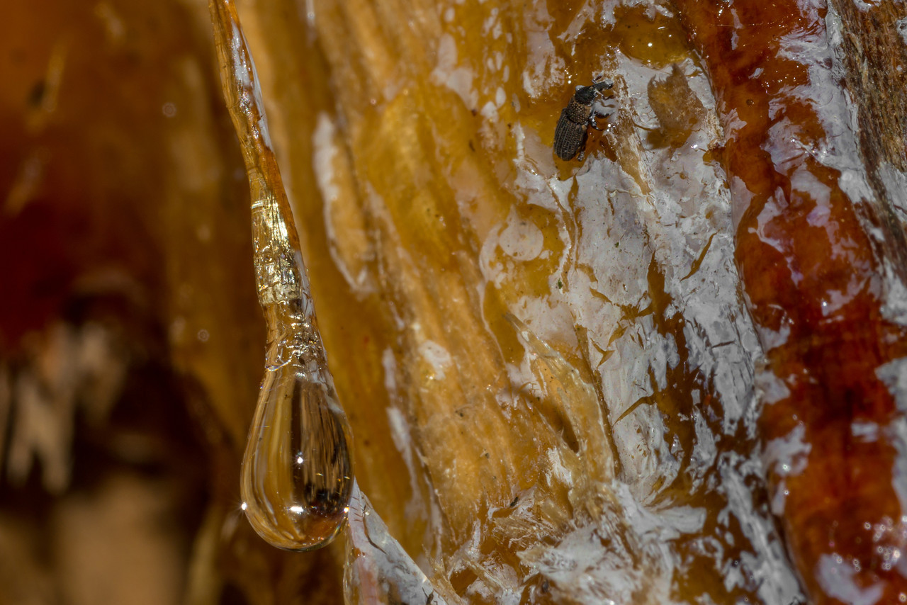 Resin pouring out of a woodpecker's hole. A small weevil got stuck and will probably die in it