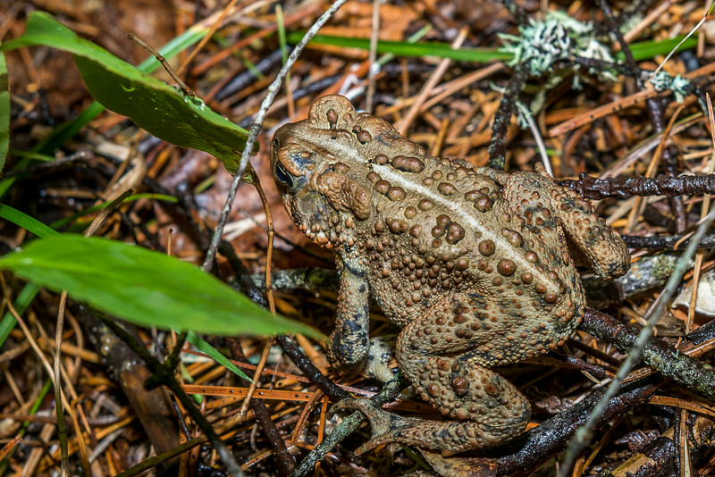 American toad (Anaxyrus americanus). Manitou River, George H. Crosby - Manitou State Park, Minnesota