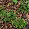 Princess Pine or Round-branched Ground-Pine (Lycopodium dendroideum), a clubmoss. George H. Crosby - Manitou State Park, Minnesota