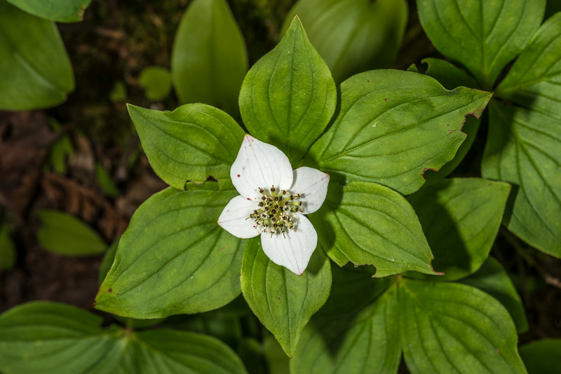 Bunchberry (Cornus canadensis). Bensen Lake, George H. Crosby - Manitou State Park, Minnesota