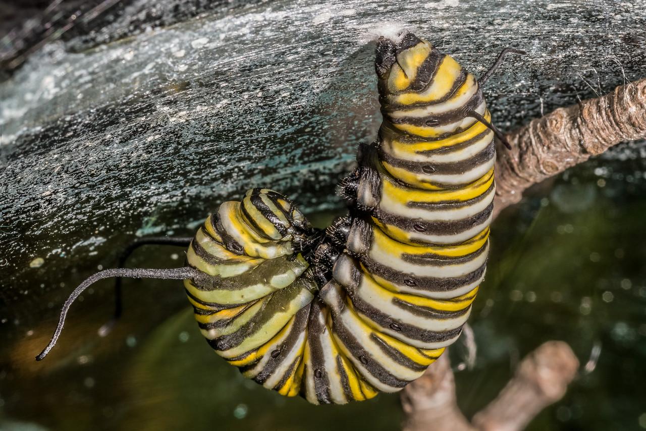 Monarch butterfly (Danaus plexippus) caterpillar starting pupation. Maple Grove, Minnesota