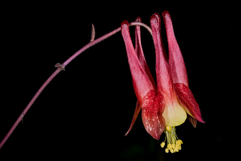 Red columbine (Aquilegia canadensis). Manitou River, George H. Crosby - Manitou State Park, Minnesota