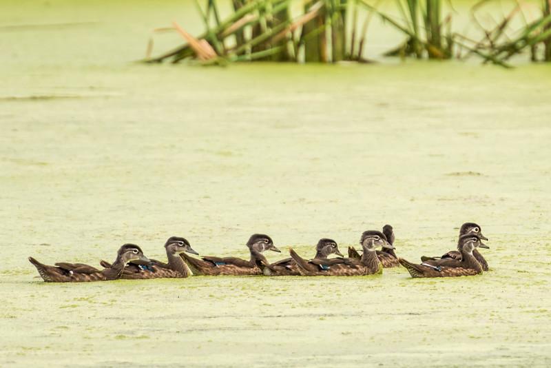 Wood duck (Aix sponsa) family. Fish Lake, Maple Grove, MN.