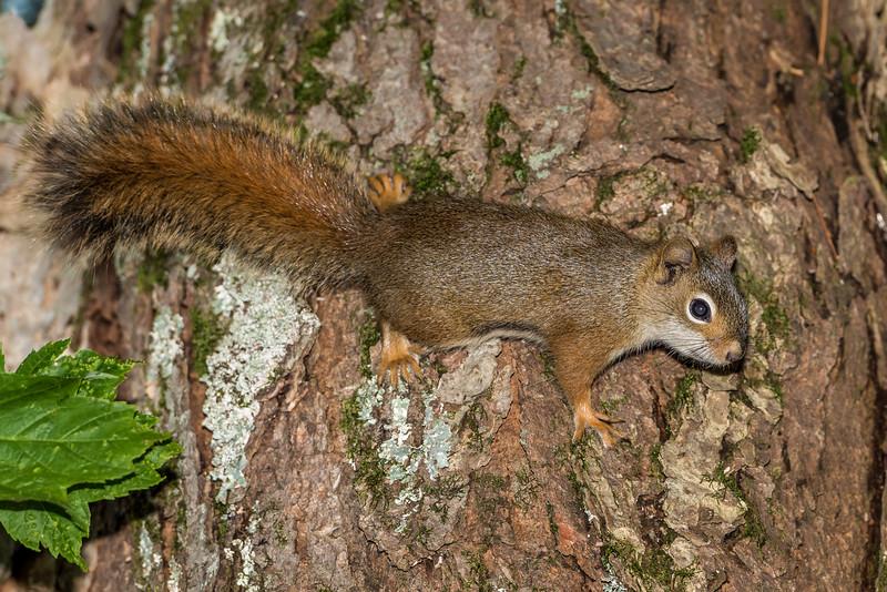 American red squirrel or pine squirrel (Tamiasciurus hudsonicus). North Mirror Lake Trail, Porcupine Mountains, Michigan.