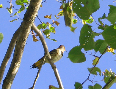 Yellow-shafted Northern Flicker male. (Yellow on the tail and red spot on nape.)