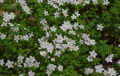 Big Woods -  False Rue Anemone