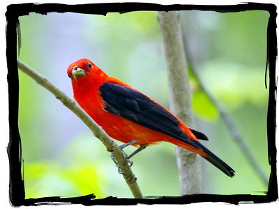 Big Woods -  Feathered Friends  Scarlet Tanager -2014