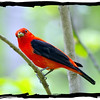 Feathered Friends  Scarlet Tanager
