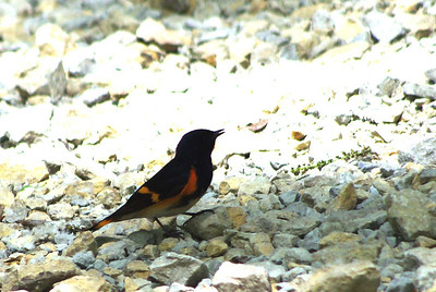 Big Woods -  American Redstart