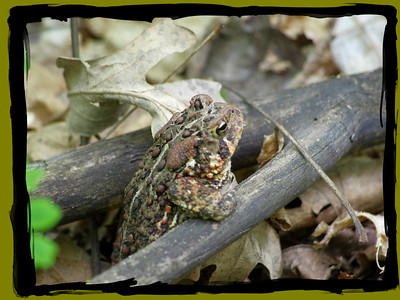 Big Woods -  American Toad