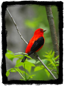 Big Woods -  Feathered Friends  Scarlet Tanager