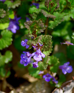 Big Woods -  Ground Ivy