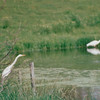 Great Egrets Along Highway Toward Minneapolis, MN  6-5-99