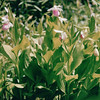 Pitcher Plants - Eloise Butler Wildflower and Bird Sanctuary - Minneapolis, MN  6-5-99