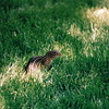 Ground Squirrel - Minneapolis Sculpture Garden, MN  5-30-99