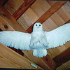Snowy Owl - Gooseberry Falls State Park Visitor Center - North Shore Drive of Lake Superior, MN  6-1-99