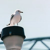 Seagull on Waterfront - Duluth, MN  6-4-99