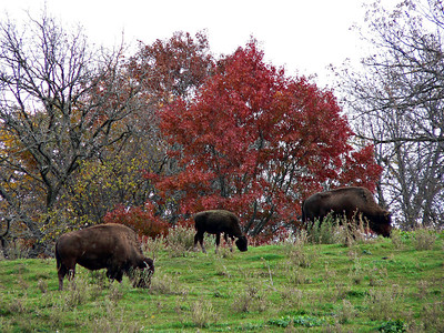 'Domestic Buffalo'