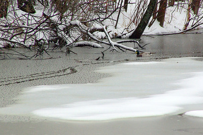 Duck tracks in the water - April 11, 2013