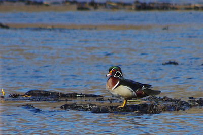 Feathered Friends  Wood Duck