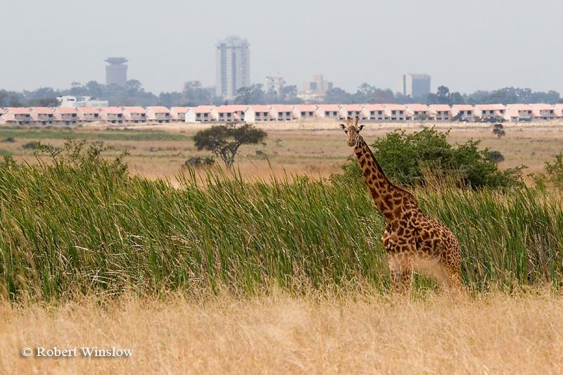 Masai Giraffe (Giraffe camelopardalis tippelskirchi), Nairobi National Park, City of Nairobi in Background, Nairobi, Kenya, Africa