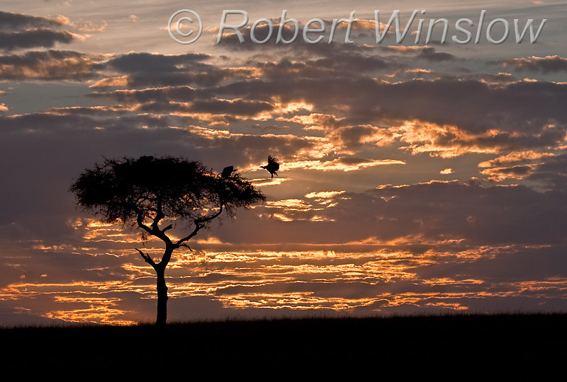 Sunrise, Vulture landing  + Vultures in Acacia Tree, Masai Mara National Reserve, Kenya, Africa