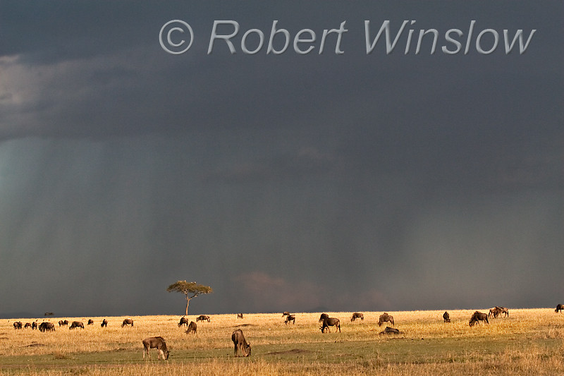 Wildebeests Grazing on Savannah, Storm in Background,  Masai Mara National Reserve, Kenya, Africa