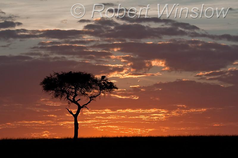 Sunrise, Vulture in Acacia Tree, Masai Mara National Reserve, Kenya, Africa