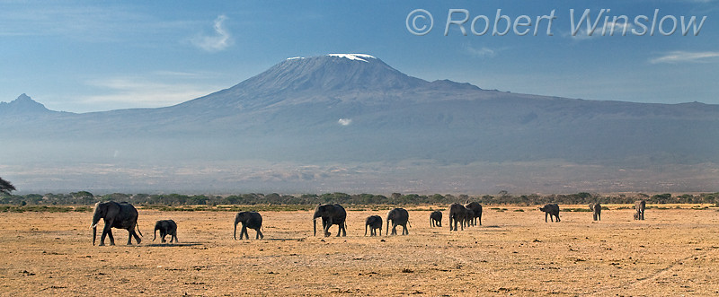 African Elephants and Mount Kilimanjaro, Amboseli National Park, Kenya, Africa