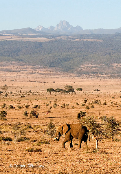 African Elephant with Mount Kenya in the background, Lewa Wildlilfe Conservancy, Kenya, Africa