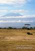 Wildebeest, Mount Kilimanjaro, Amboseli National Park, Kenya, Africa
