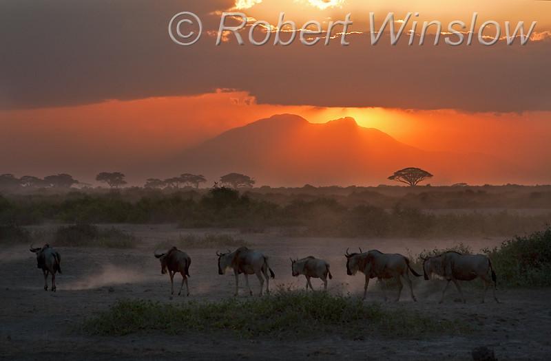 Wildebeests, Connochaetes taurinus, Sunset,  Amboseli National Park, Kenya, Africa